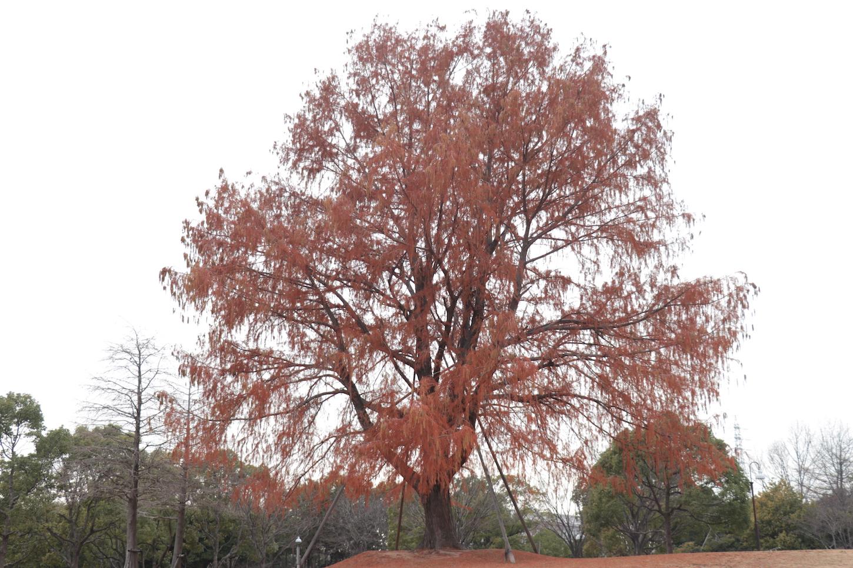 芝生広場の巨大な木